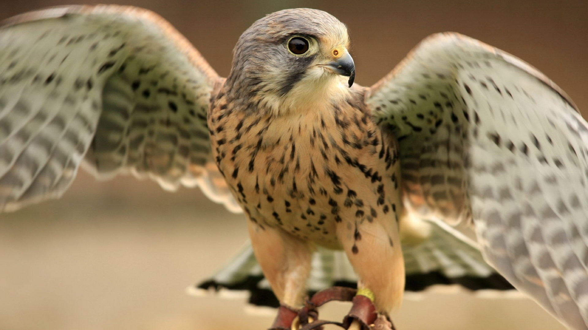 Free download Falcon background ID:408472 full hd for desktop