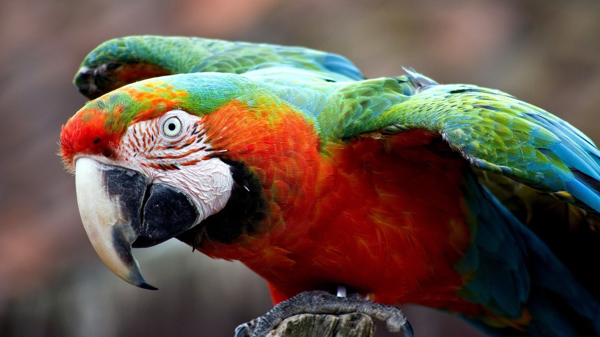 Awesome Macaw free wallpaper ID:46284 for 1080p PC