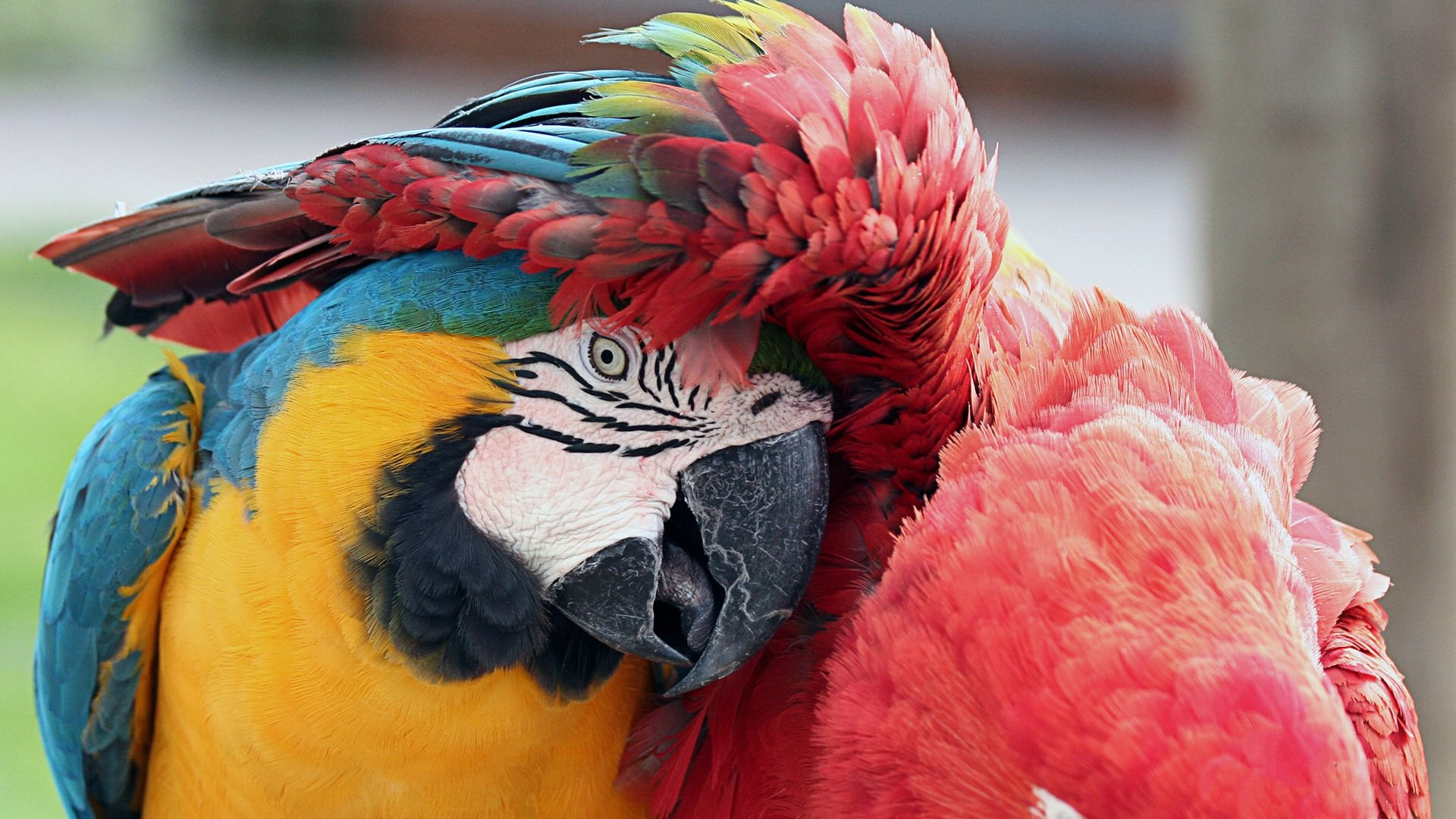 Best Macaw wallpaper ID:46283 for High Resolution hd 1080p computer