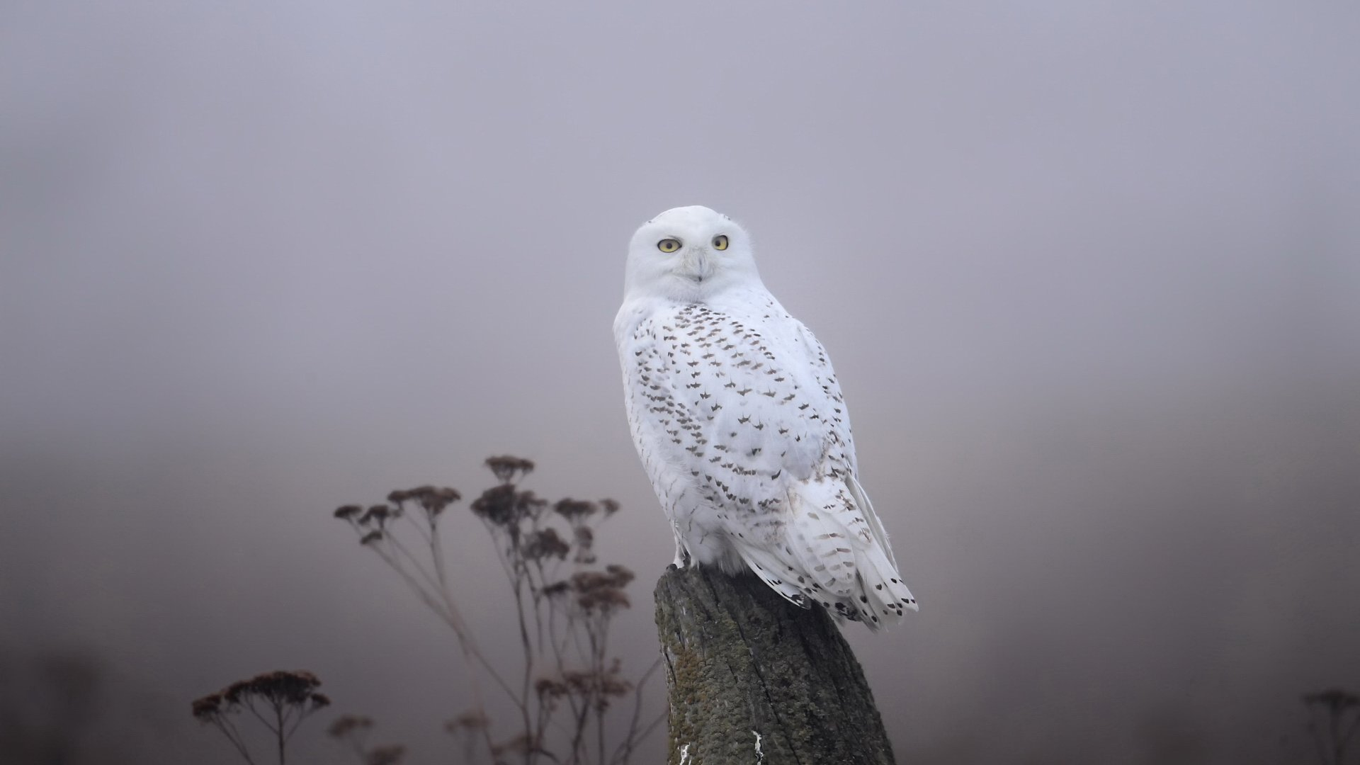 Awesome Snowy Owl free wallpaper ID:26801 for full hd 1080p PC
