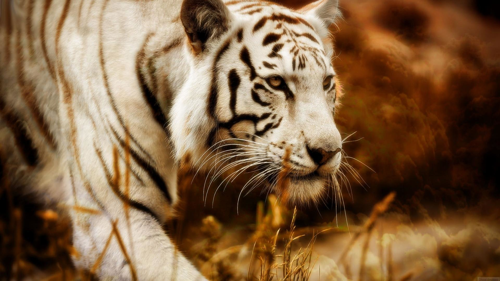 Free download White Tiger background ID:174989 full hd 1920x1080 for desktop