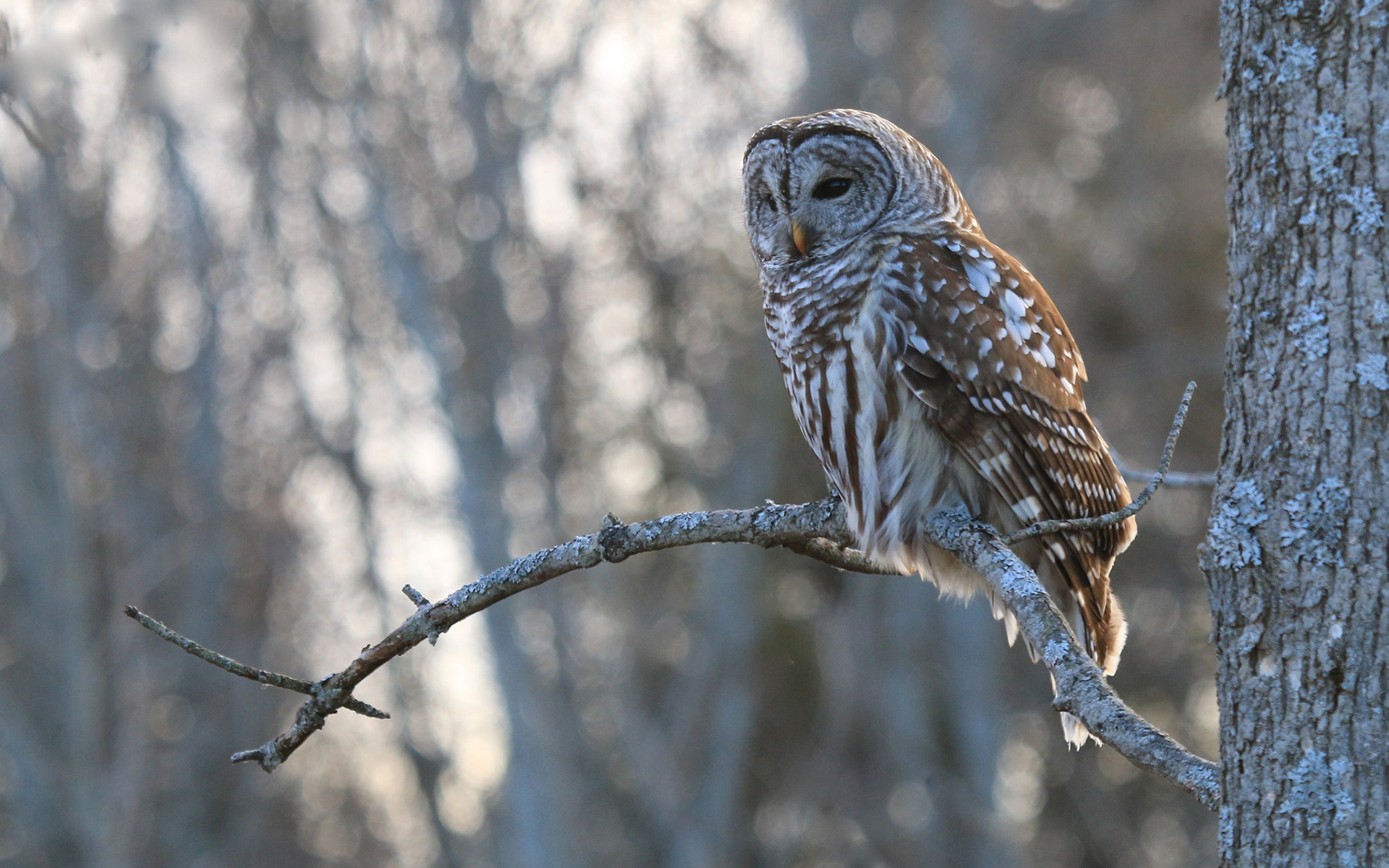 Free Barred Owl high quality wallpaper ID:91342 for hd 1920x1200 desktop