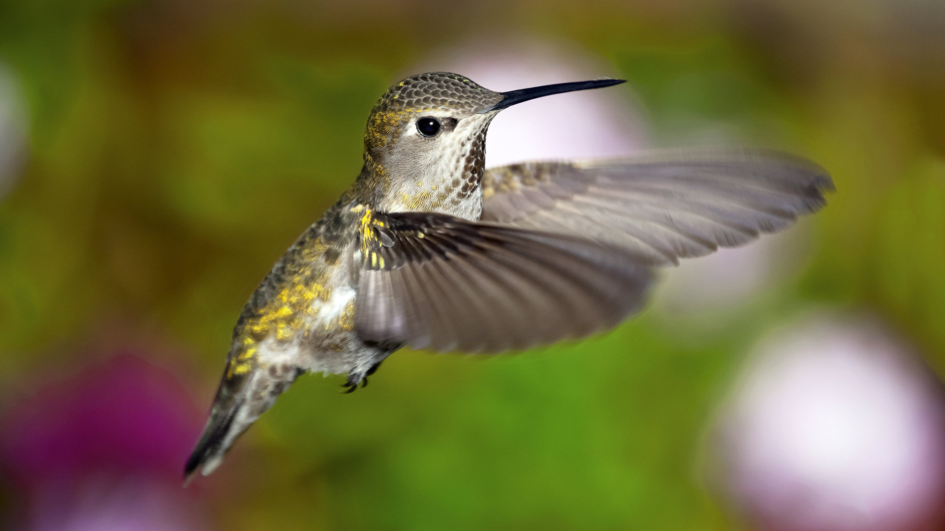 Free Hummingbird high quality background ID:215817 for full hd 1920x1080 PC