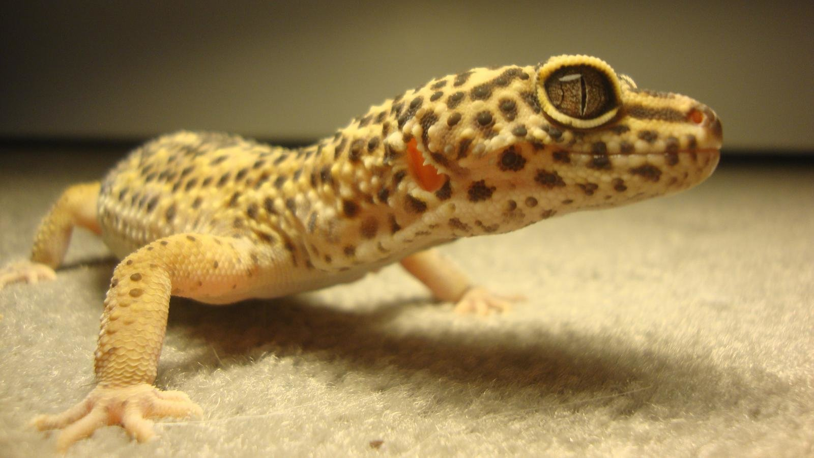 Awesome Leopard Gecko free wallpaper ID:357665 for hd 1600x900 desktop