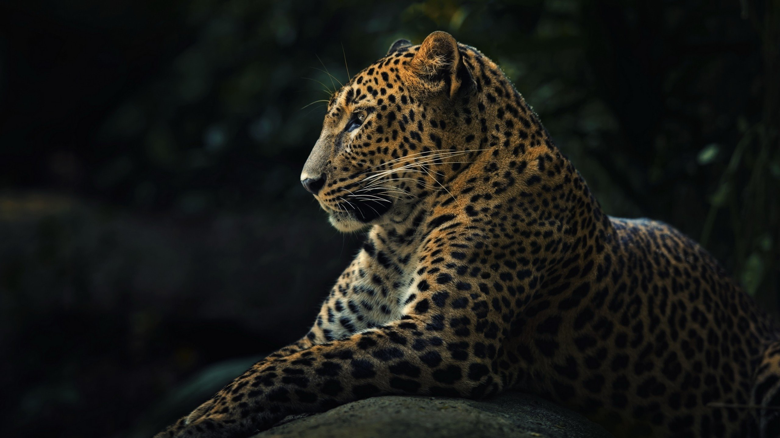 Best Leopard wallpaper ID:448357 for High Resolution hd 2560x1440 computer