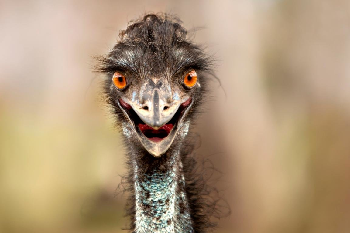 Awesome Ostrich free background ID:290156 for hd 1152x768 computer