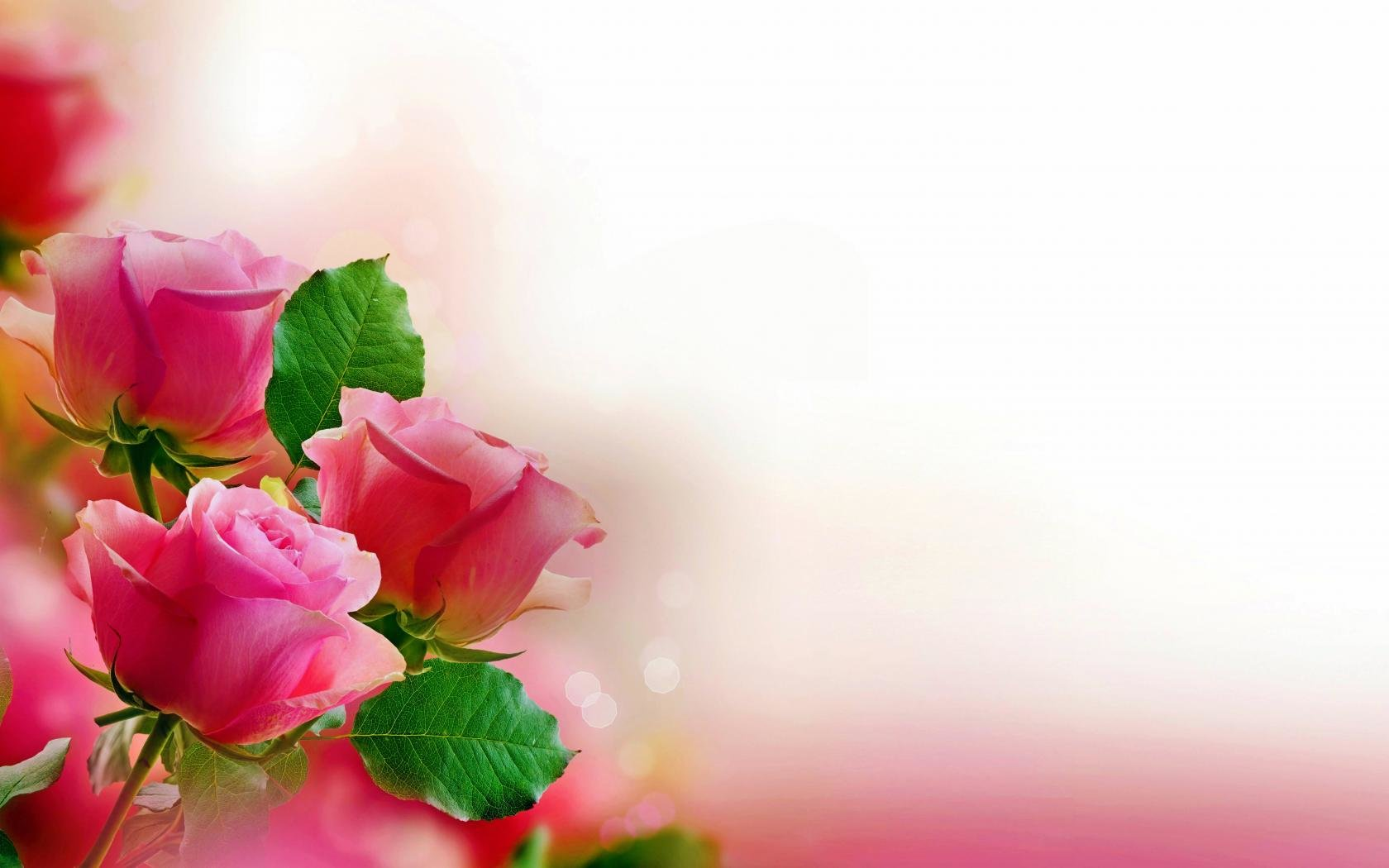 Awesome Rose free background ID:473366 for hd 1680x1050 desktop