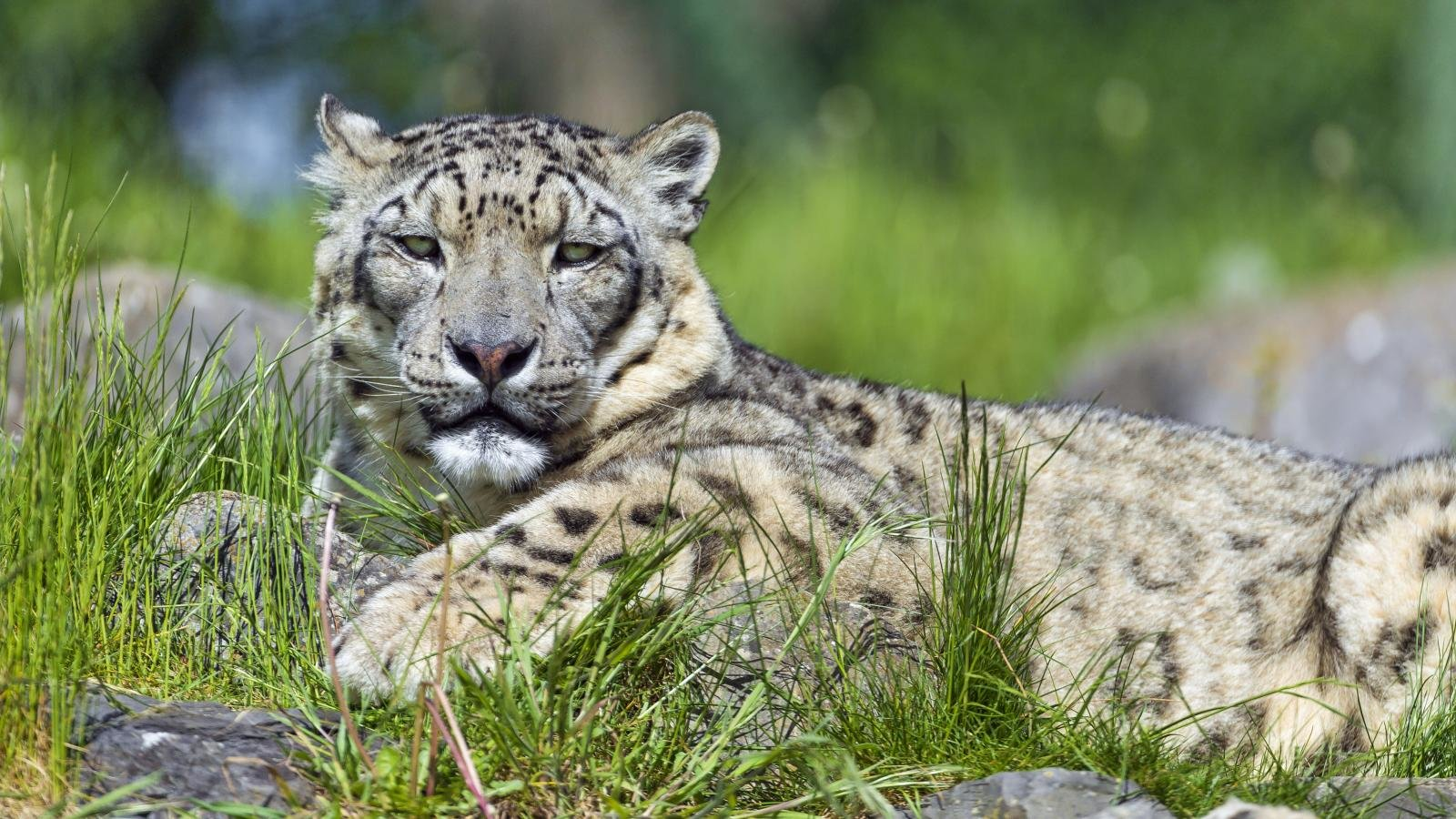 Download hd 1600x900 Snow Leopard computer wallpaper ID:34557 for free