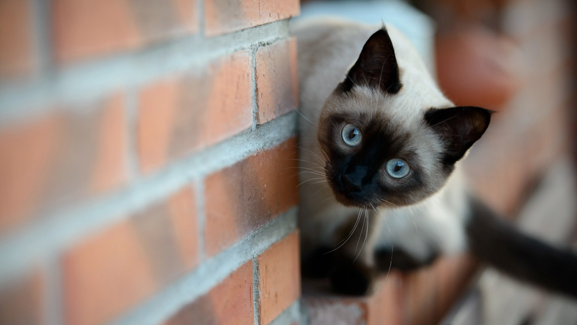 High resolution Siamese Cat full hd 1920x1080 background ID:53376 for desktop