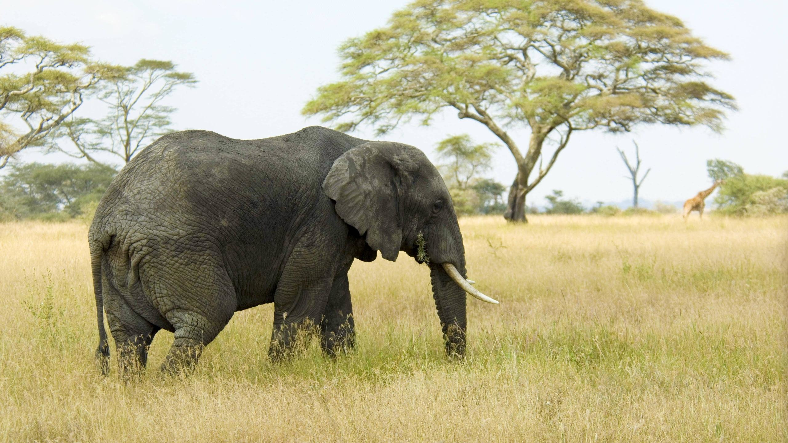 High resolution Elephant hd 2560x1440 background ID:132560 for desktop