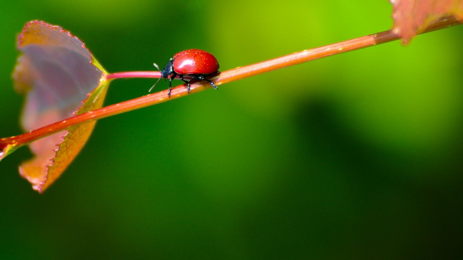 High resolution Ladybug hd 1600x900 wallpaper ID:270527 for desktop