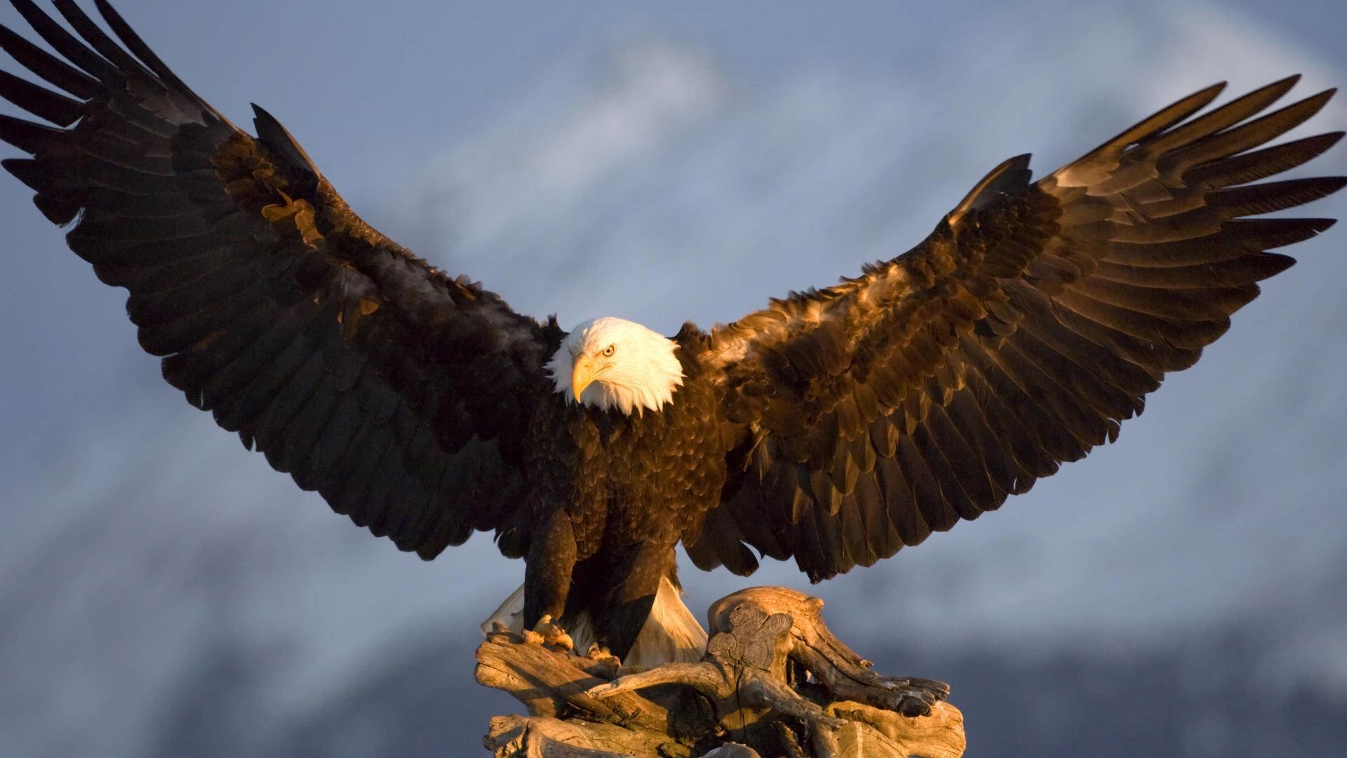 High resolution American Bald Eagle 1080p background ID:68777 for PC