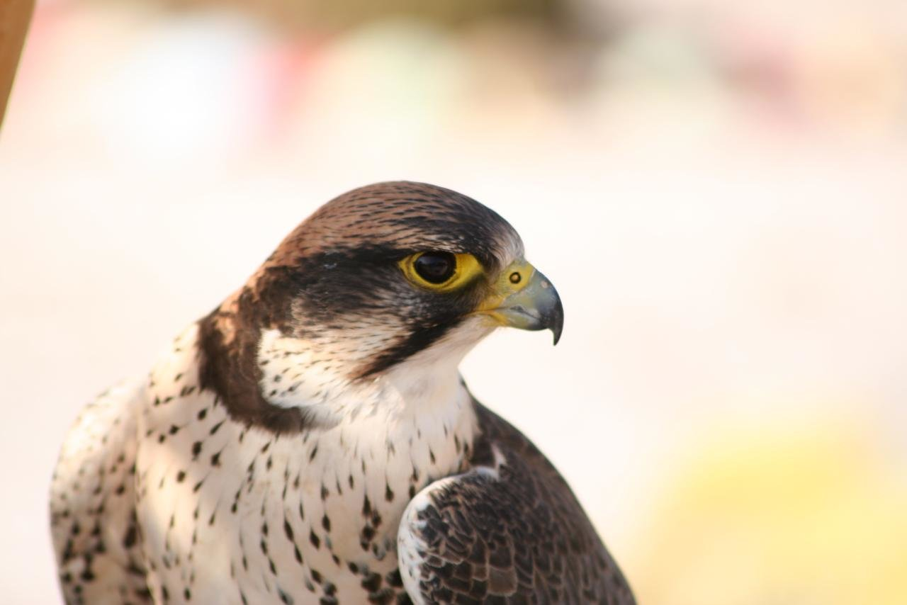 High resolution Peregrine Falcon hd 1280x854 wallpaper ID:244696 for desktop