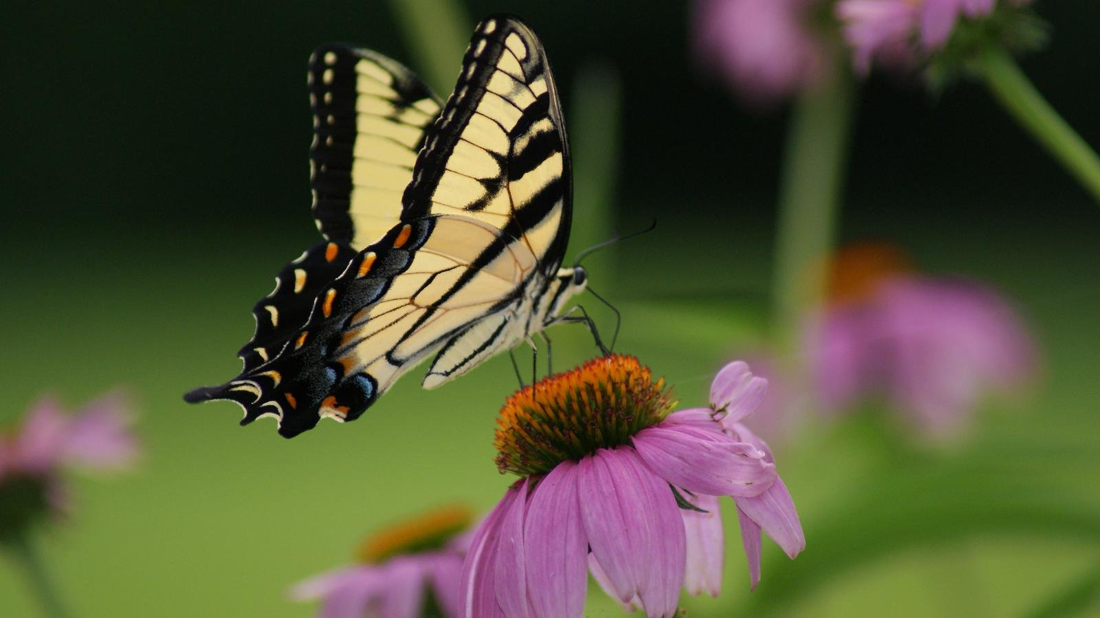 Free Butterfly high quality background ID:168210 for hd 1600x900 desktop