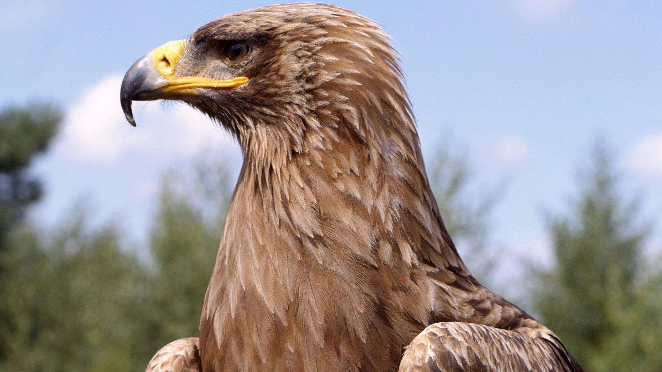 High resolution Golden Eagle hd 2560x1440 background ID:299814 for desktop