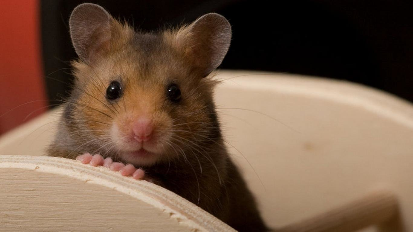 Best Hamster background ID:234050 for High Resolution laptop computer