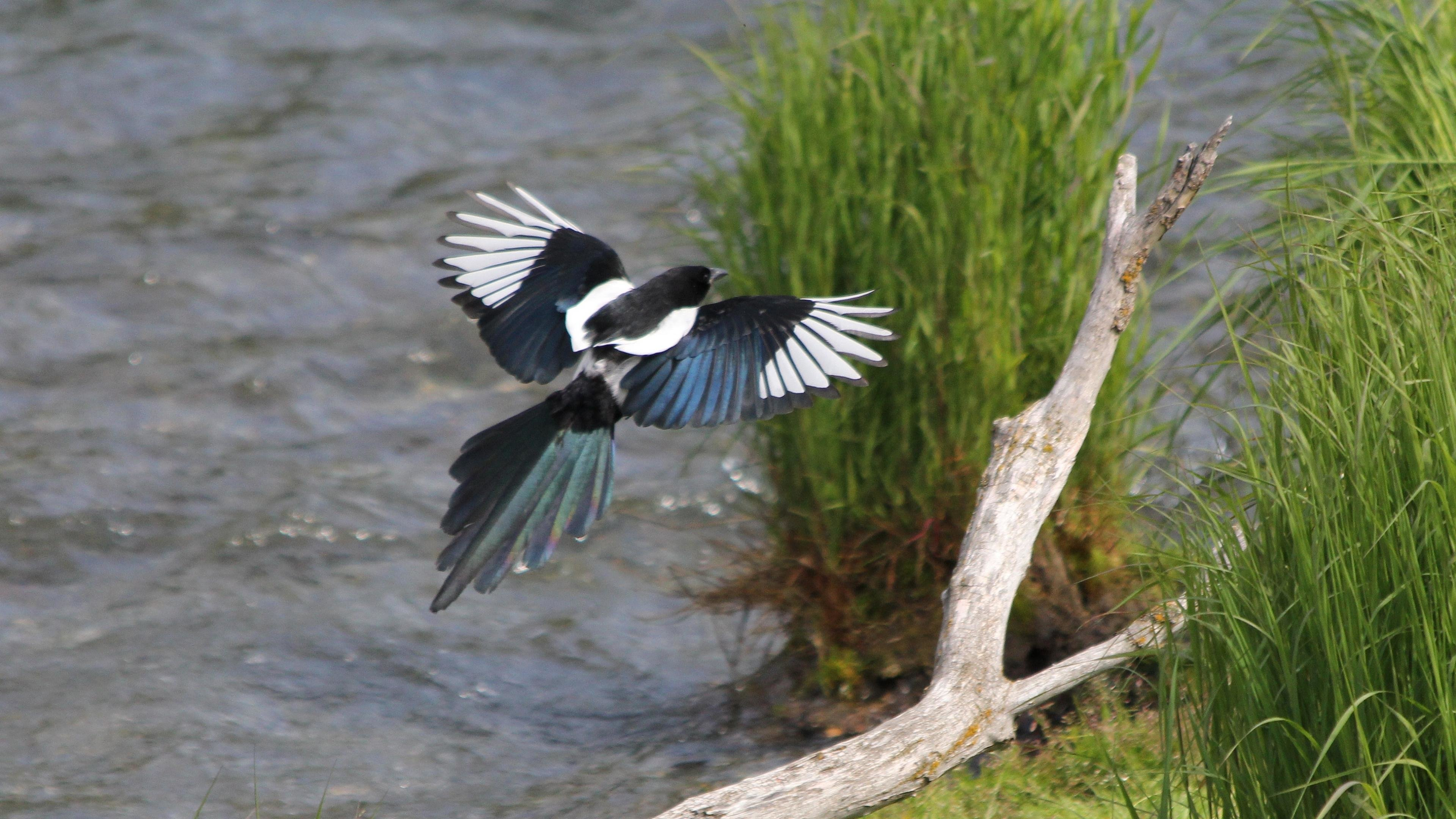 Best Magpie wallpaper ID:130333 for High Resolution ultra hd 4k desktop