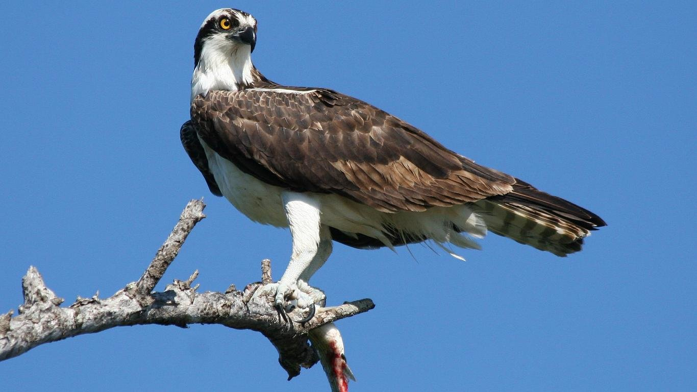 Free download Osprey wallpaper ID:421659 1366x768 laptop for PC