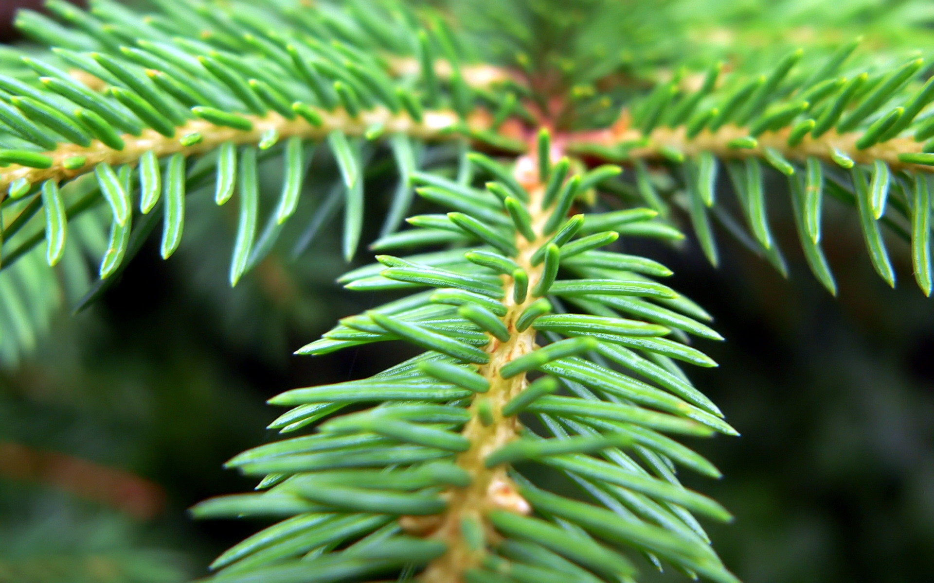 High resolution Pine Tree hd 1920x1200 wallpaper ID:234142 for computer