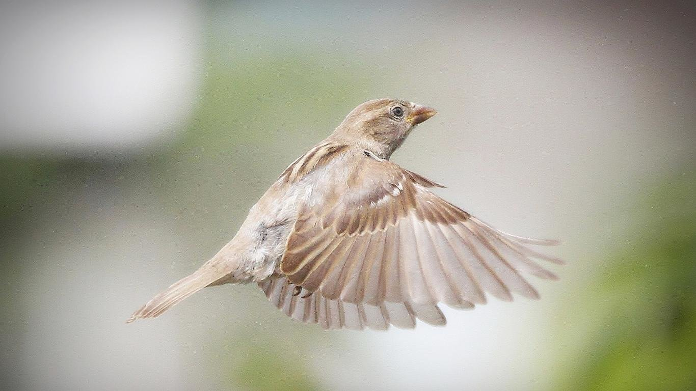 High resolution Sparrow 1366x768 laptop wallpaper ID:110739 for computer