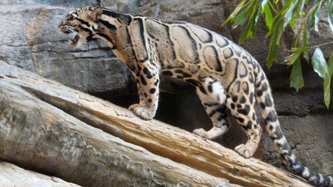 High resolution Clouded Leopard laptop background ID:260347 for desktop