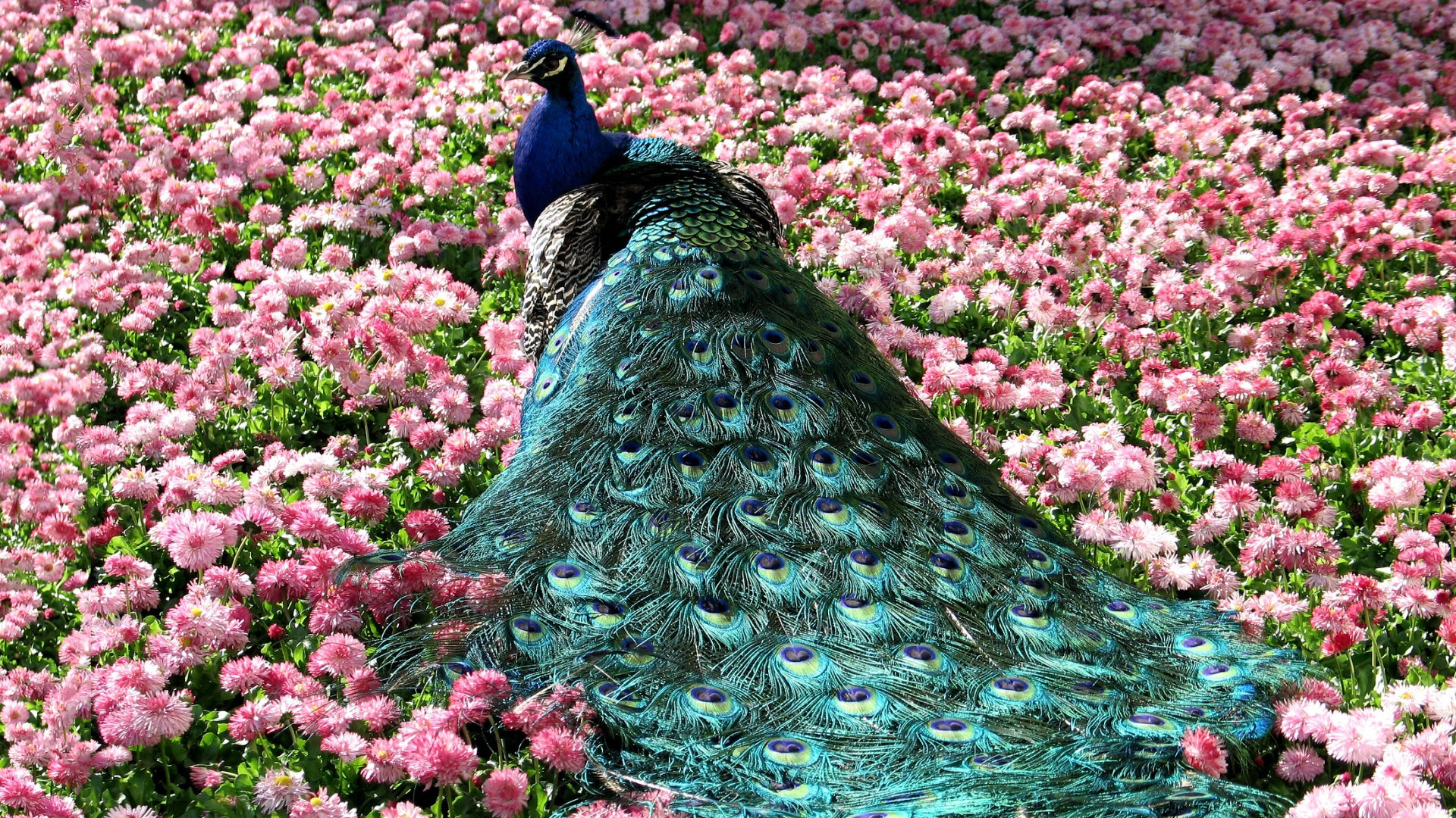 Free Peacock high quality wallpaper ID:151828 for full hd PC