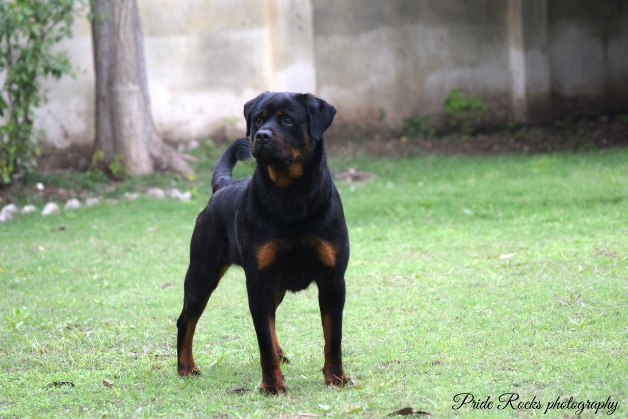 Free Rottweiler high quality background ID:68580 for hd 1280x854 computer