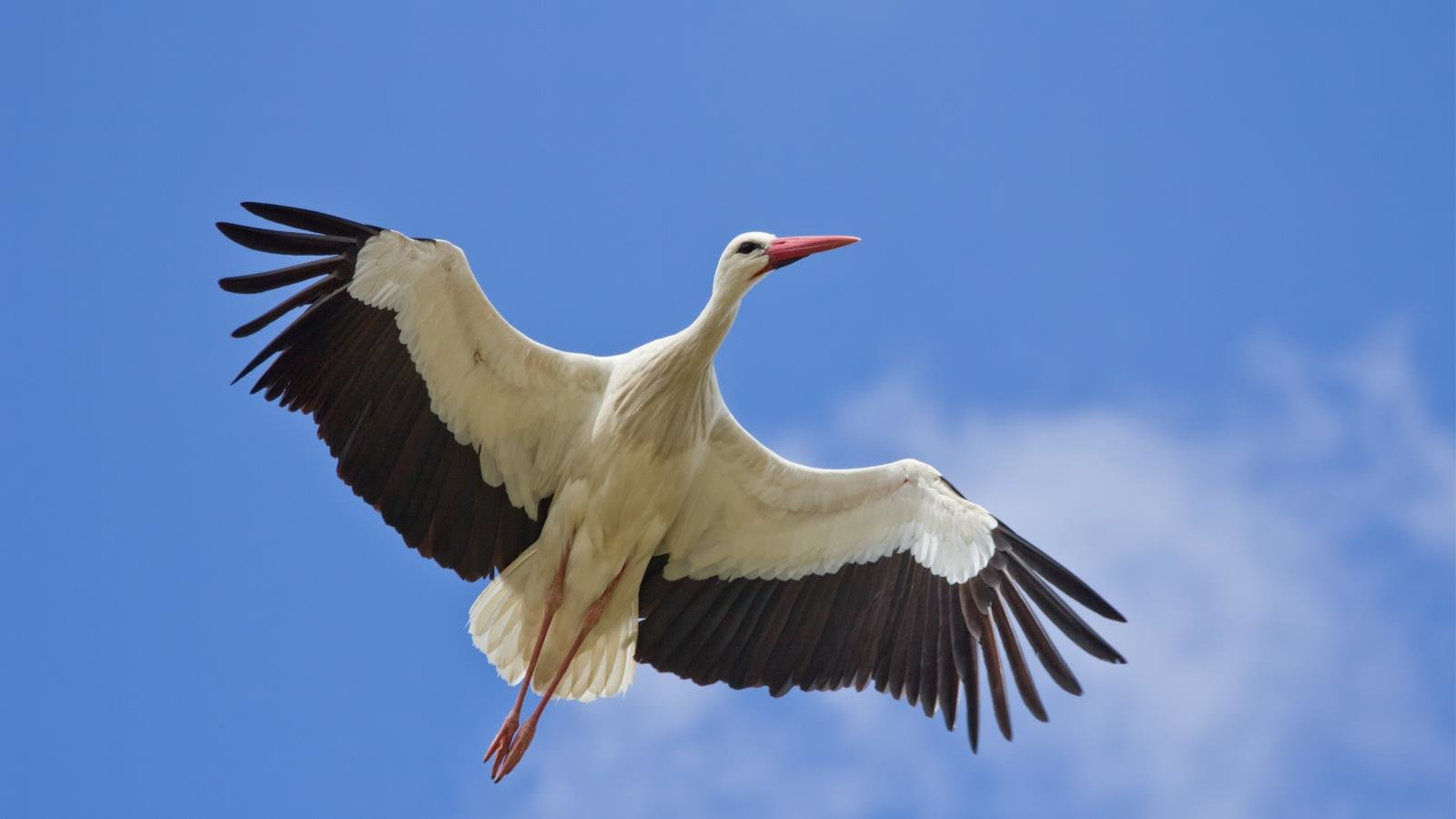 Awesome White Stork free background ID:9585 for hd 1600x900 computer