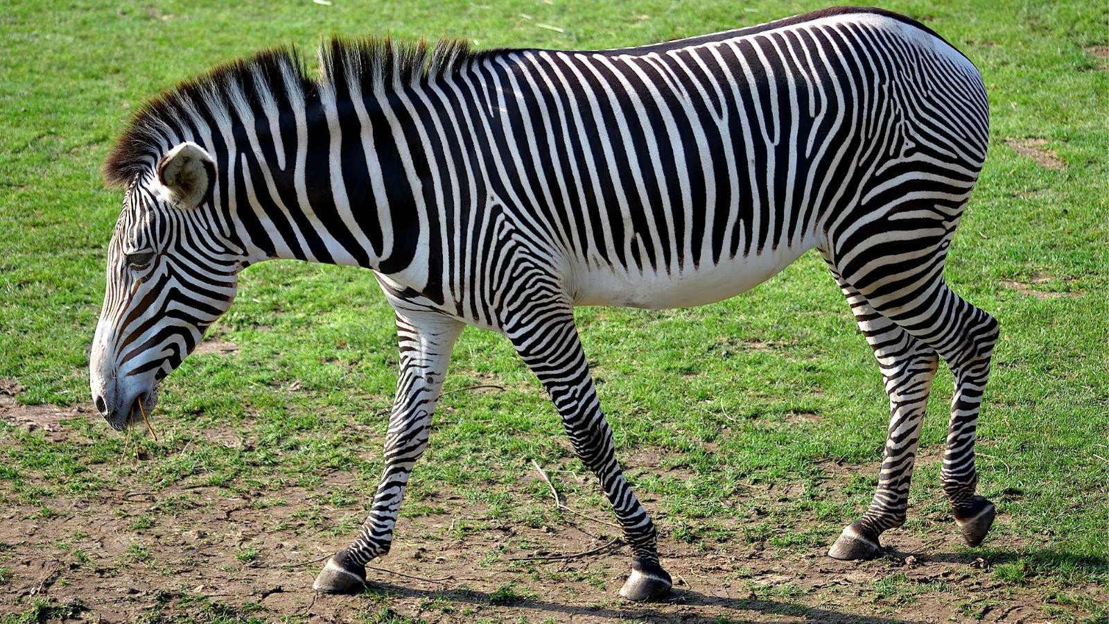Awesome Zebra free wallpaper ID:73811 for hd 1600x900 computer