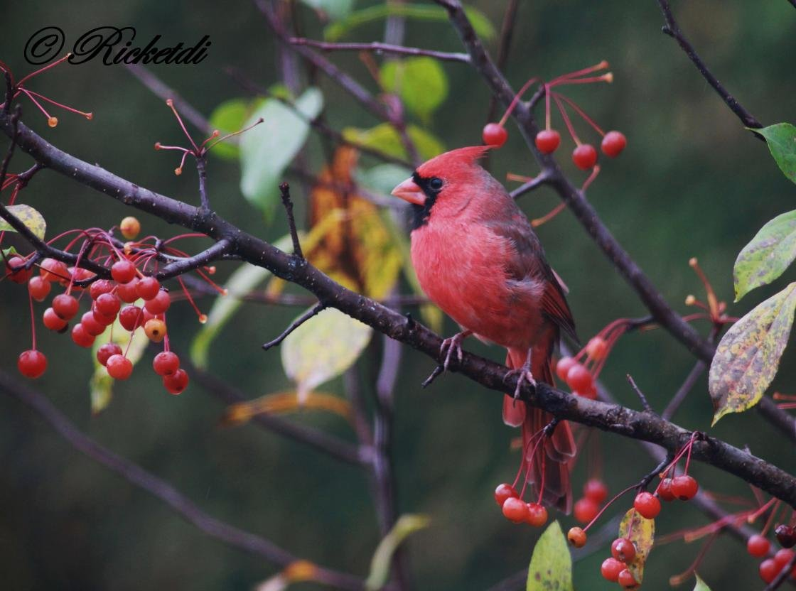 Awesome Cardinal free wallpaper ID:24679 for hd 1120x832 PC