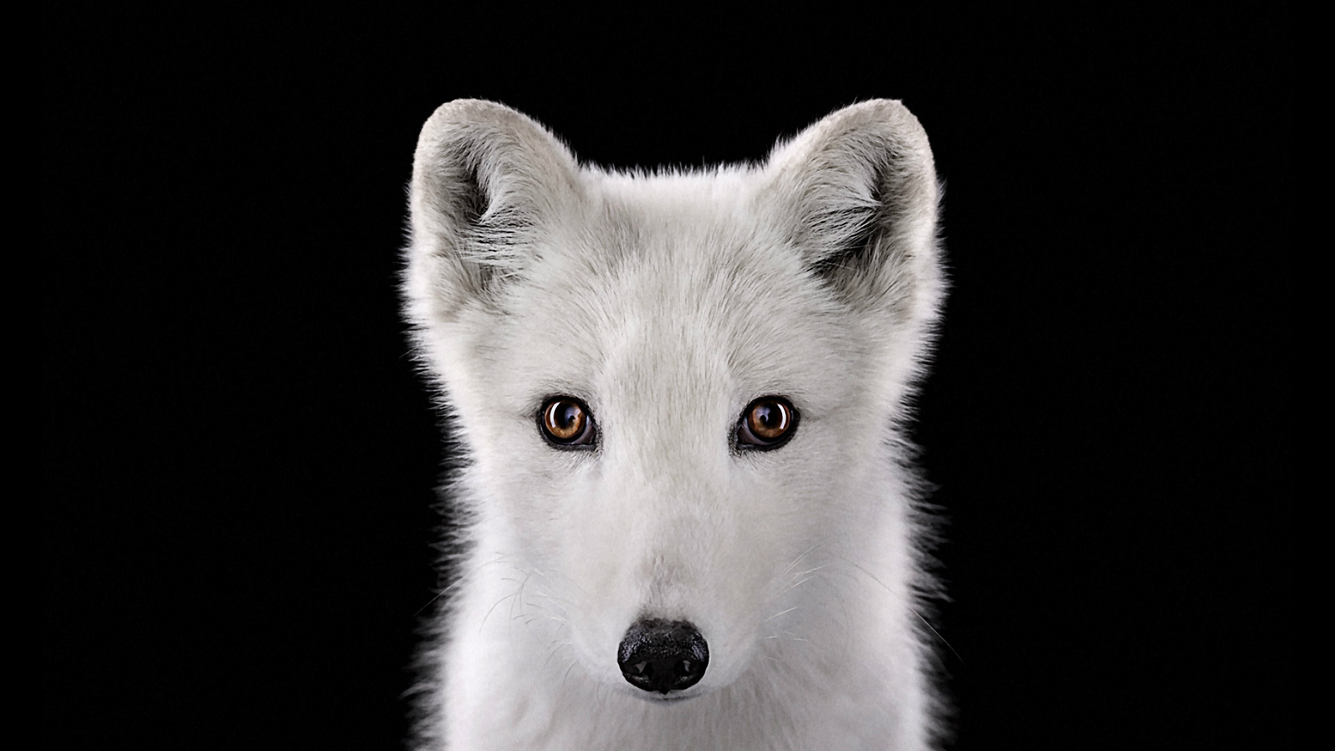 Free Arctic Fox high quality background ID:98767 for hd 1080p desktop