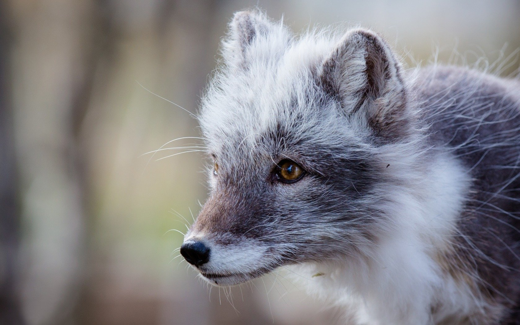 Awesome Arctic Fox free background ID:98776 for hd 1680x1050 computer