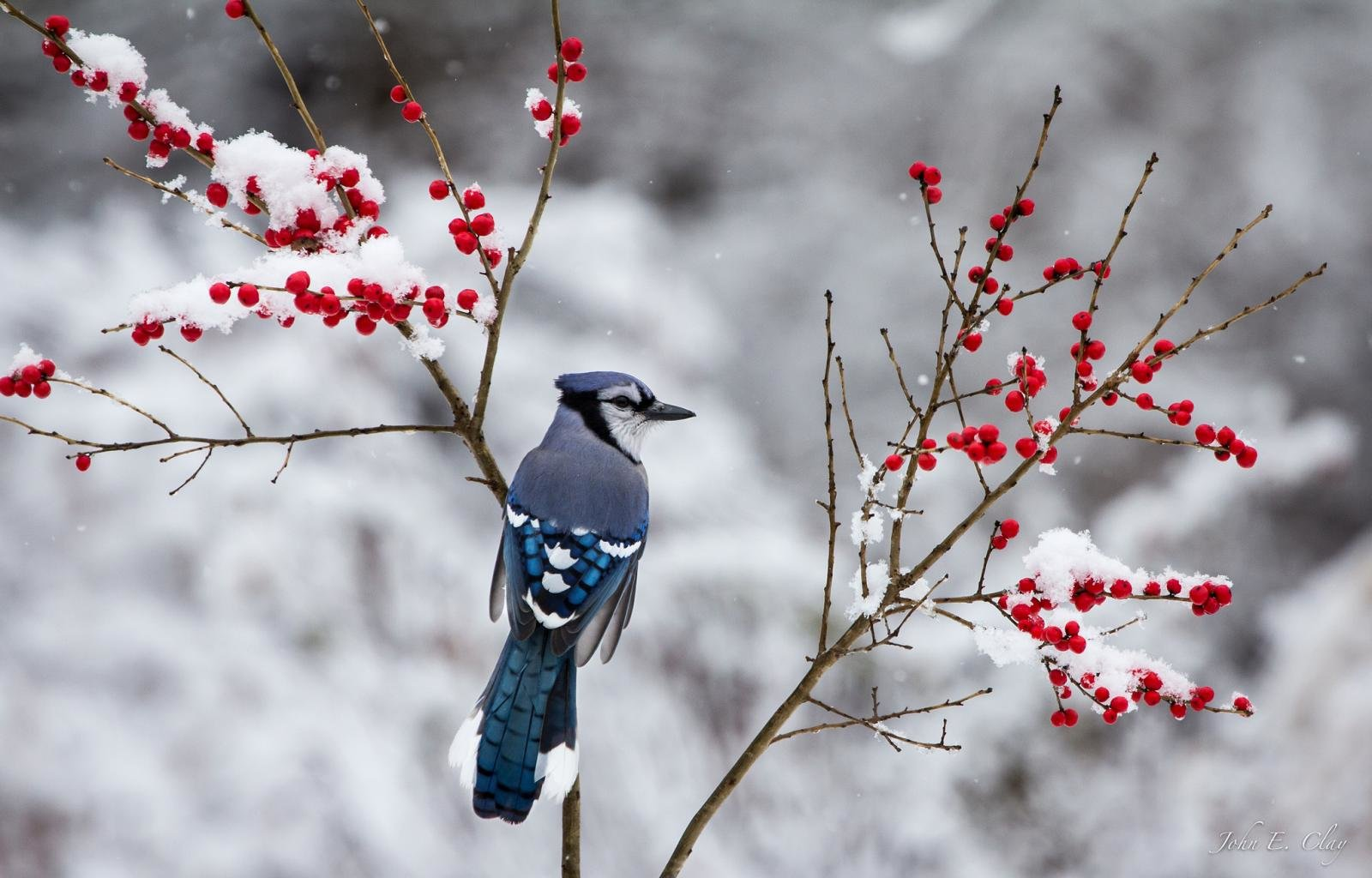 Free download Blue Jay background ID:158390 hd 1600x1024 for desktop