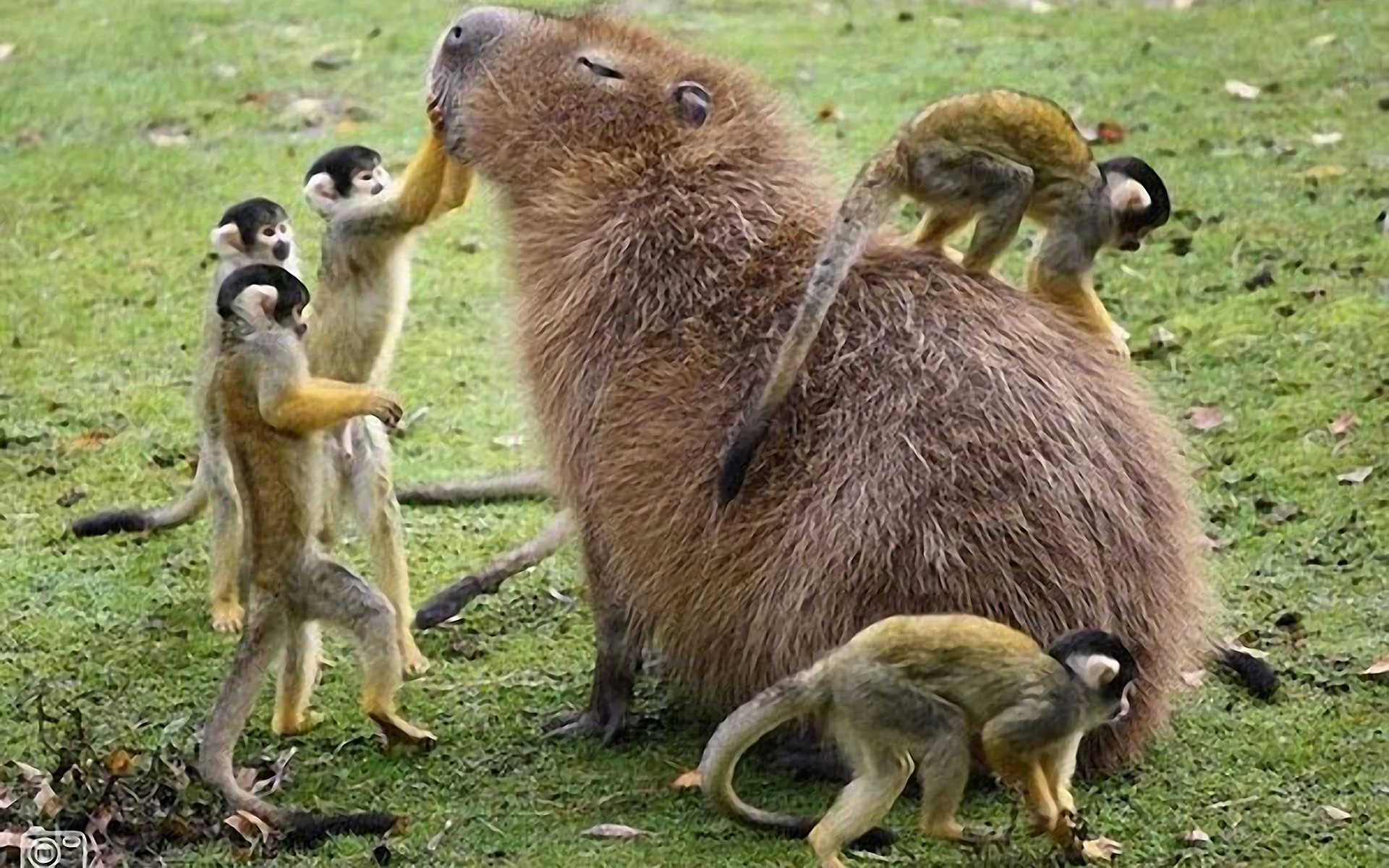 Awesome Capybara free background ID:465264 for hd 1920x1200 PC
