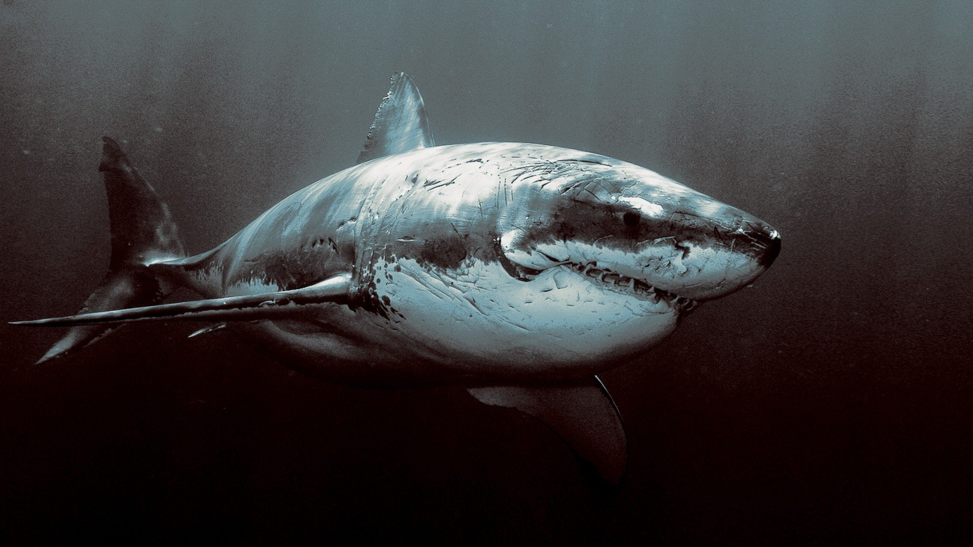 Best Shark background ID:180628 for High Resolution full hd 1080p computer