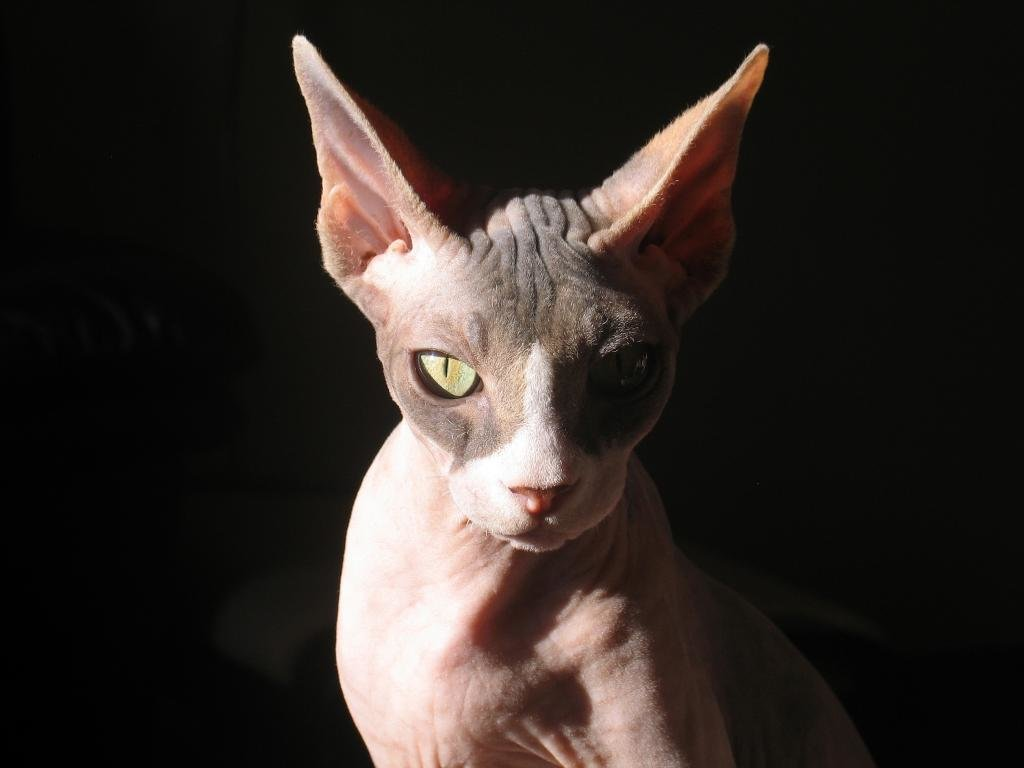 Free download Sphynx Cat background ID:449301 hd 1024x768 for computer