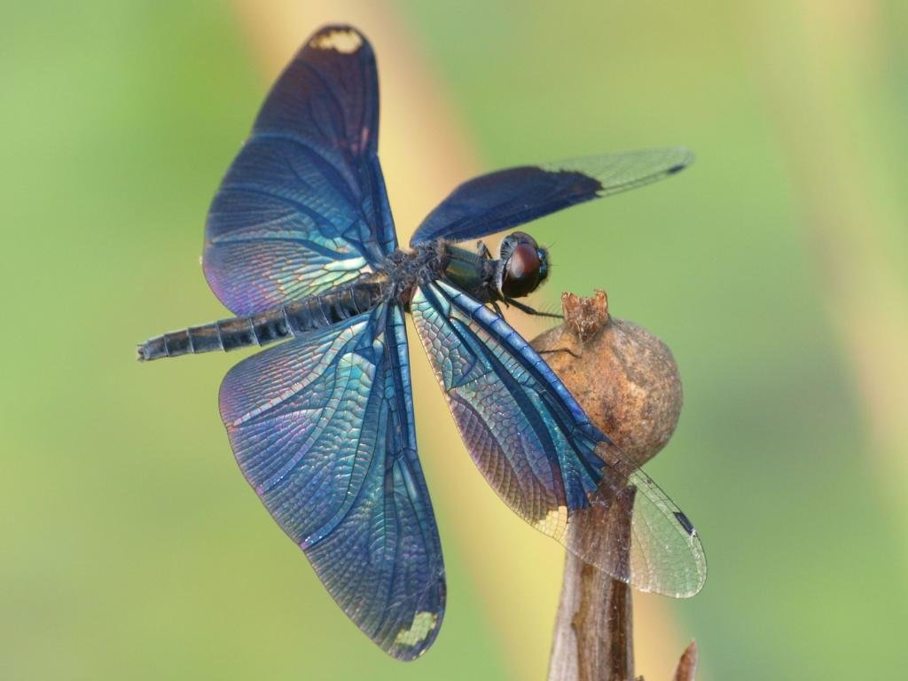 Awesome Dragonfly free wallpaper ID:467578 for hd 1024x768 computer