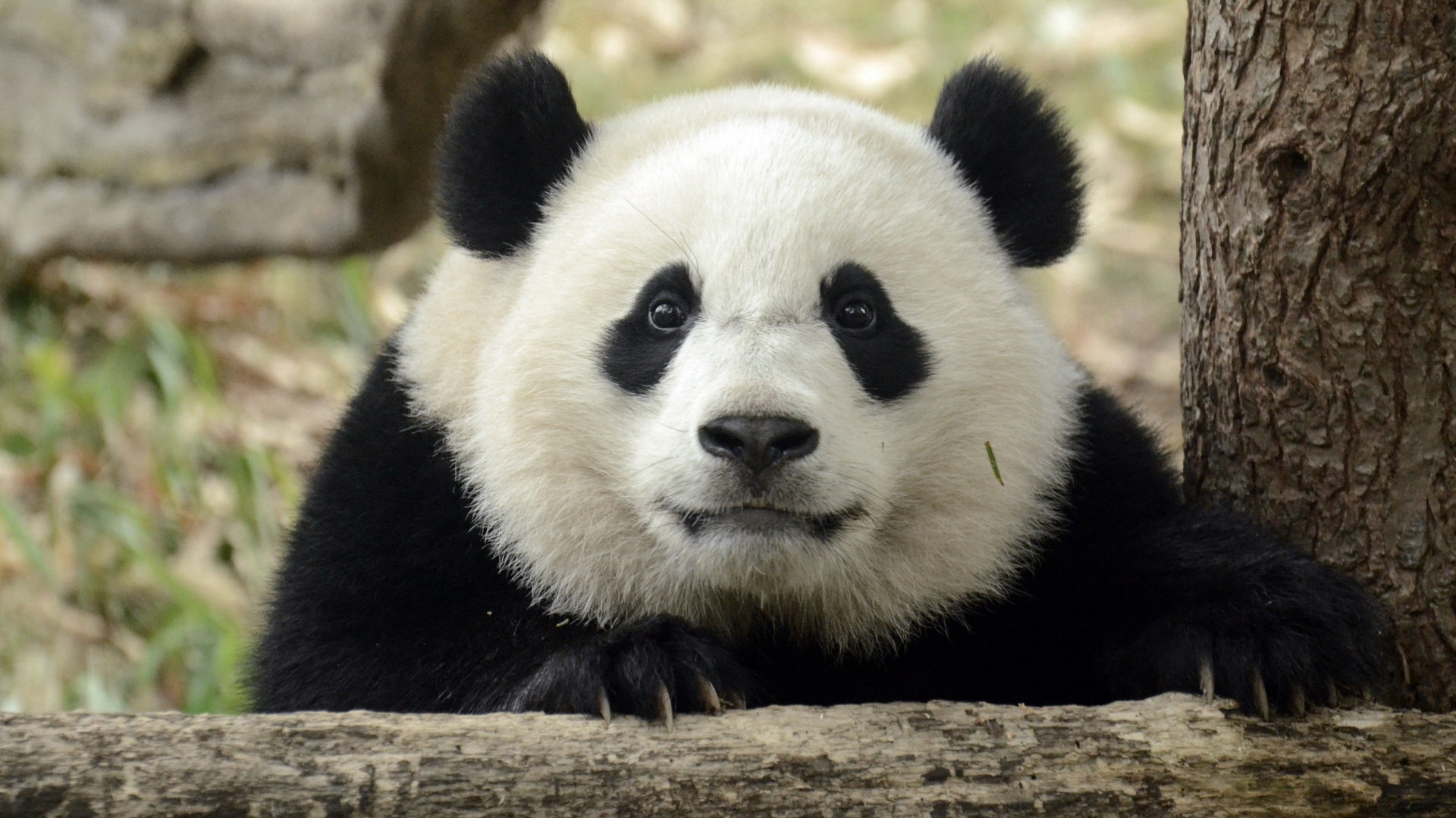 Free Panda high quality background ID:300555 for full hd 1080p computer
