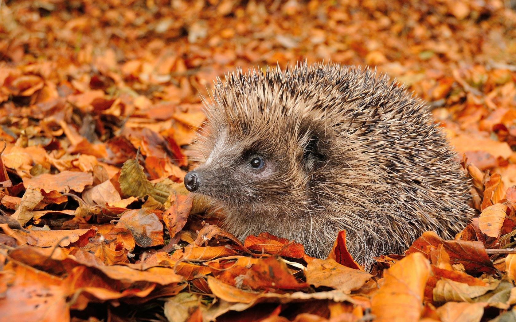 Free download Hedgehog wallpaper ID:241852 hd 1680x1050 for PC