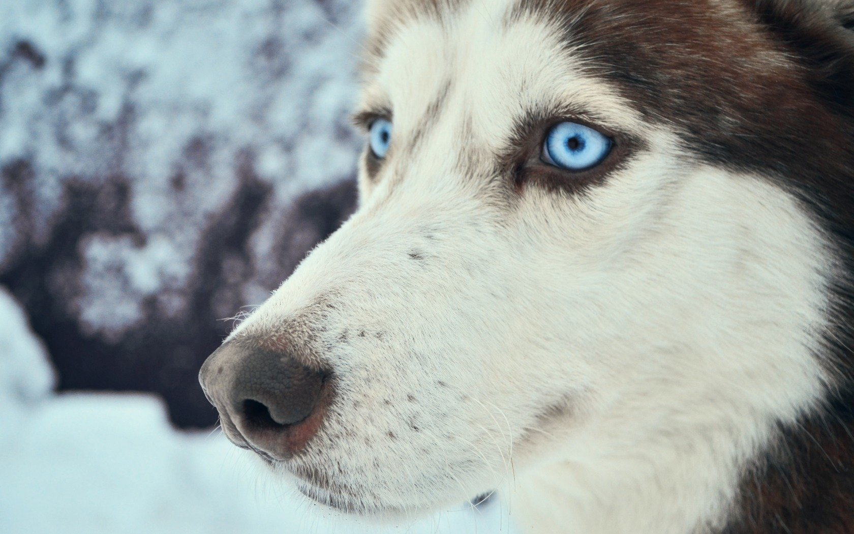 Awesome Husky free background ID:198447 for hd 1680x1050 desktop