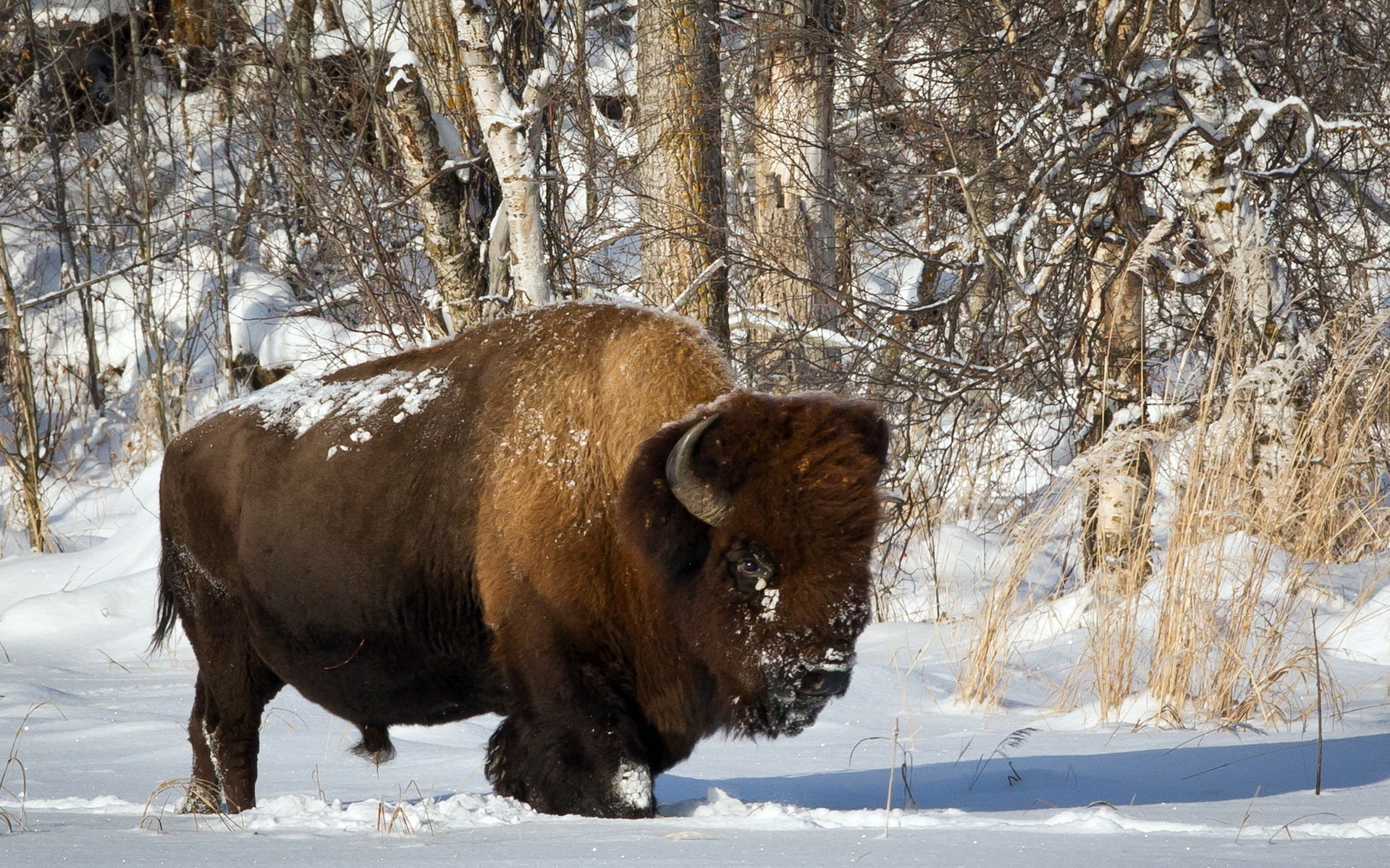Free download Bison wallpaper ID:130642 hd 1920x1200 for PC