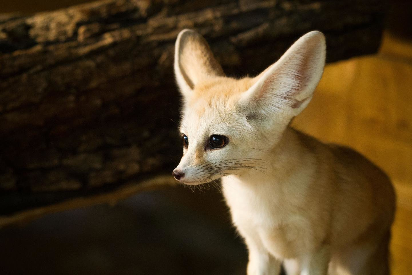 Free download Fennec Fox wallpaper ID:137671 hd 1440x960 for computer