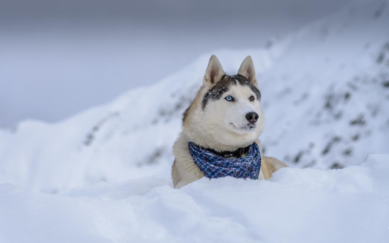 Best Husky background ID:198429 for High Resolution hd 1280x800 PC