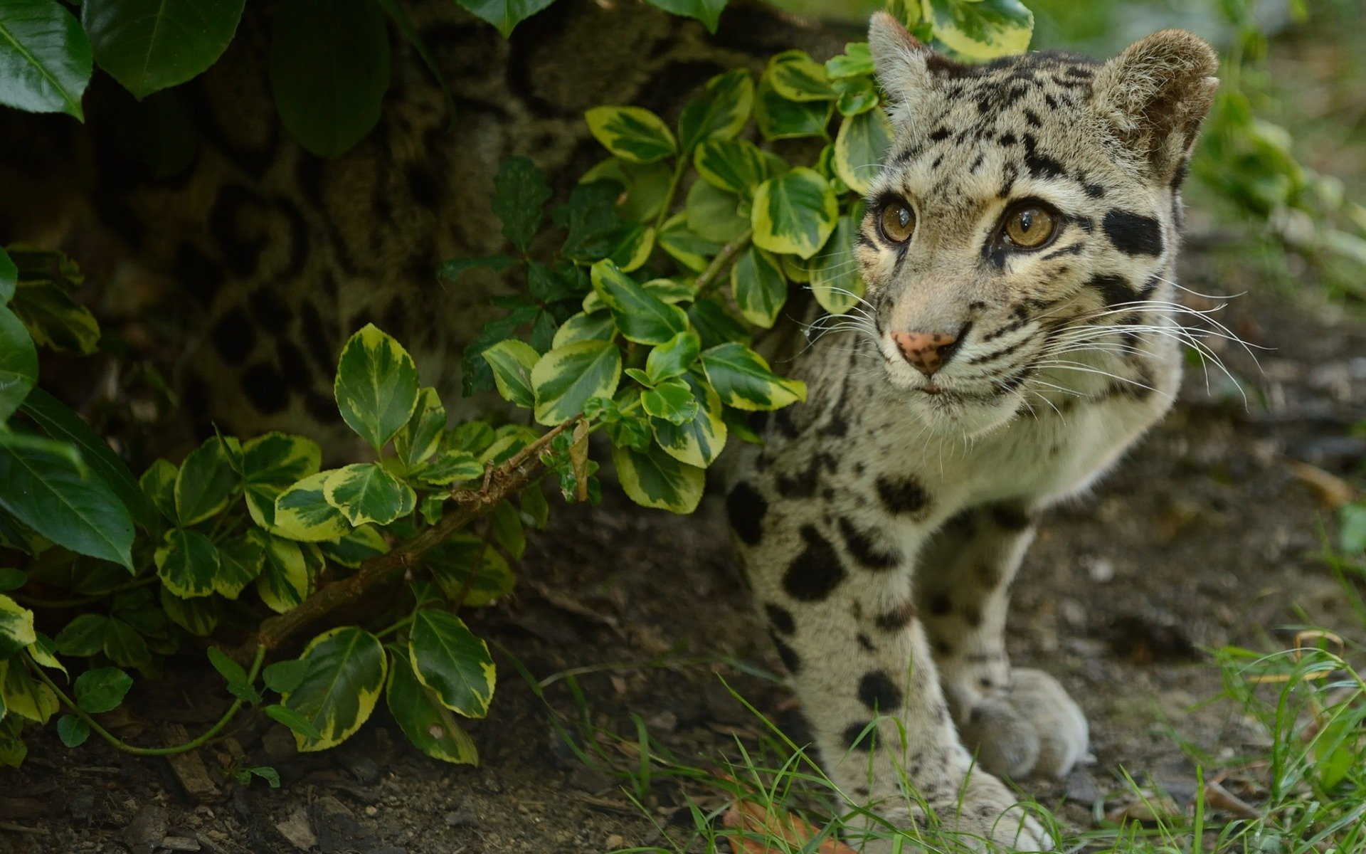 Best Clouded Leopard background ID:260358 for High Resolution hd 1920x1200 PC