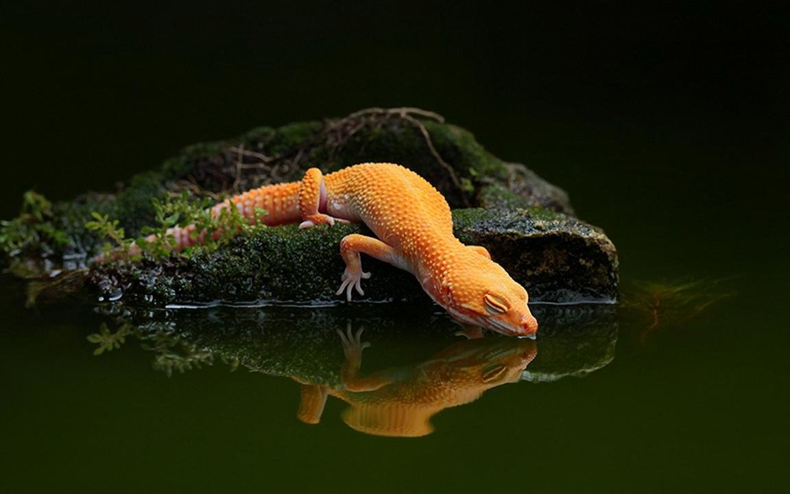 High resolution Gecko hd 1152x720 wallpaper ID:114485 for PC