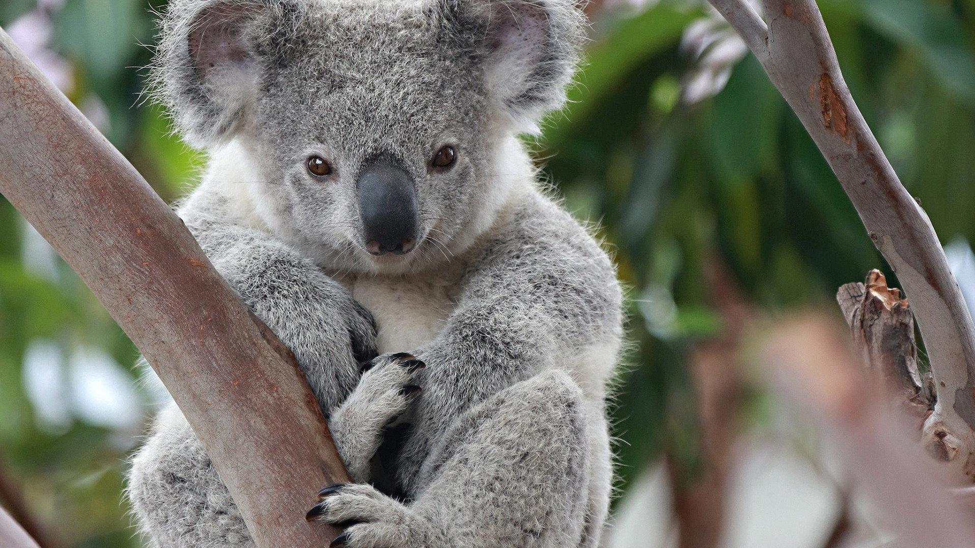 Download full hd 1080p Koala computer wallpaper ID:74225 for free