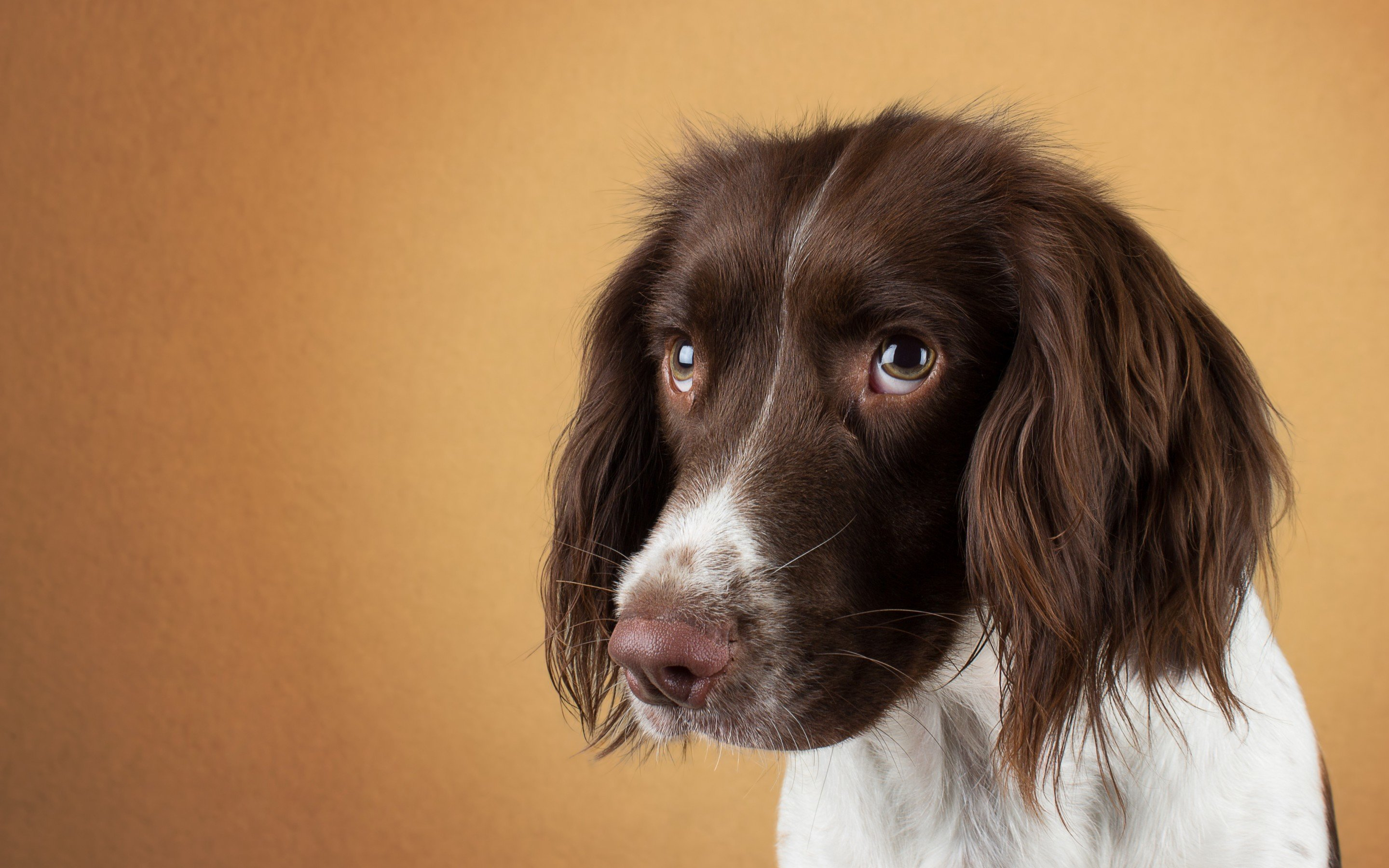 Download hd 2880x1800 Spaniel computer background ID:186017 for free