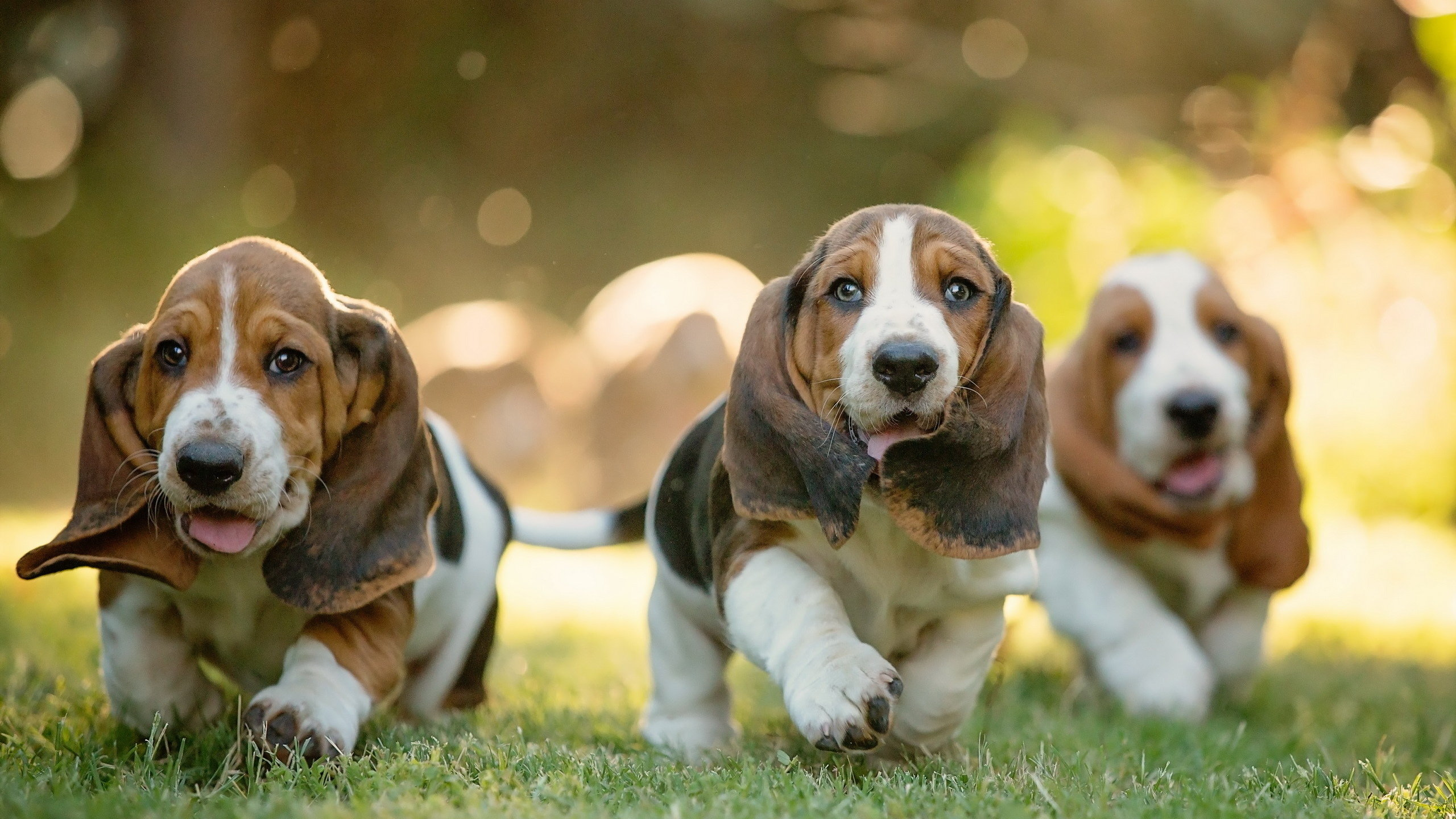Awesome Basset Hound free wallpaper ID:214117 for hd 2560x1440 PC
