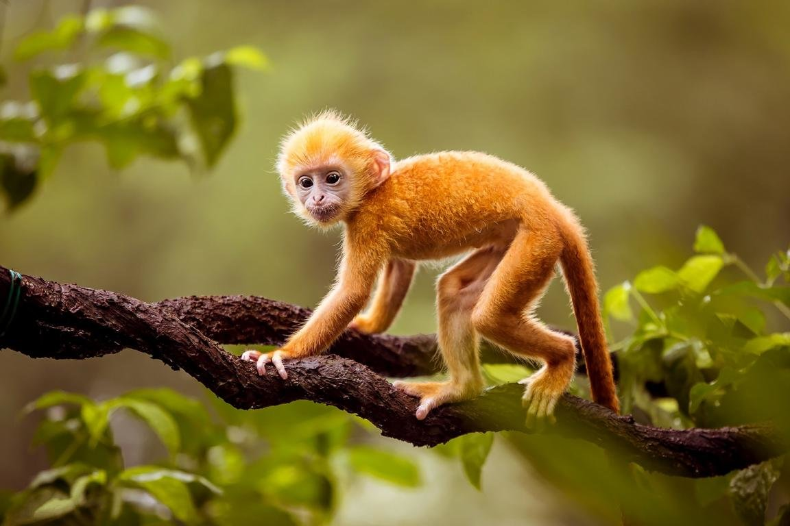 Download hd 1152x768 Golden Snub-nosed Monkey computer wallpaper ID:29636 for free