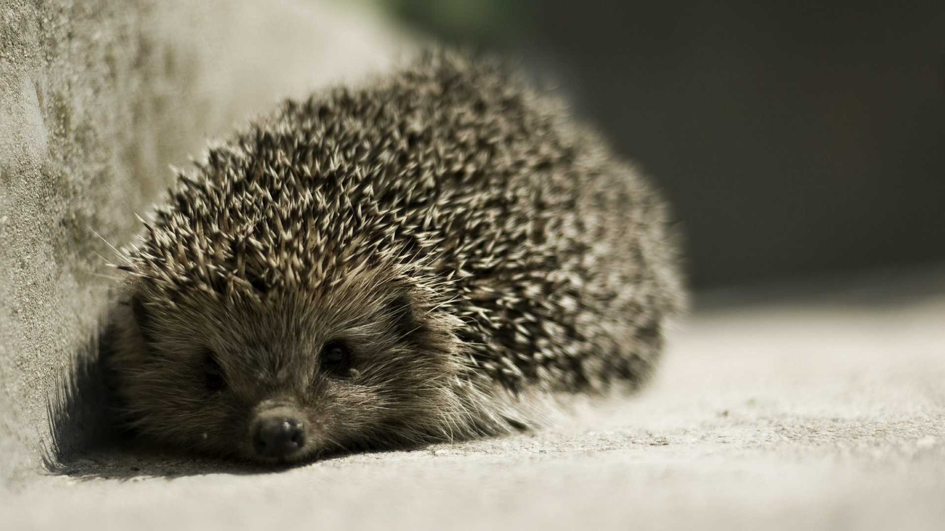 High resolution Hedgehog 1080p wallpaper ID:241809 for PC
